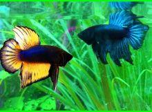 cara merawat ikan cupang tarung, cara memilih ikan cupang tarung, cara merawat ikan cupang petarung, cara melatih ikan cupang petarung, cara budidaya ikan cupang petarung, cara agar ikan cupang berani tarung, cara mengobati ikan cupang habis tarung, cara tarung ikan cupang, ikan cupang tarung sampai mati