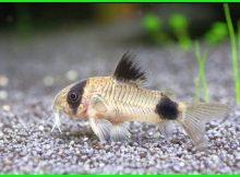 budidaya ikan corydoras panda, ikan hias corydoras panda, harga ikan corydoras panda