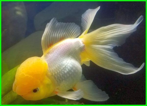 ikan koki oranda kontes