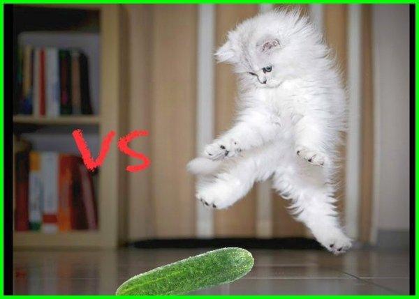 apakah kucing takut timun, kenapa kucing takut timun, apa kucing takut mentimun, apakah kucing takut mentimun, apa benar kucing takut timun, apakah kucing takut dengan timun, apakah benar kucing takut timun, apakah kucing takut sama timun, benarkah kucing takut mentimun, benarkah kucing takut dengan timun