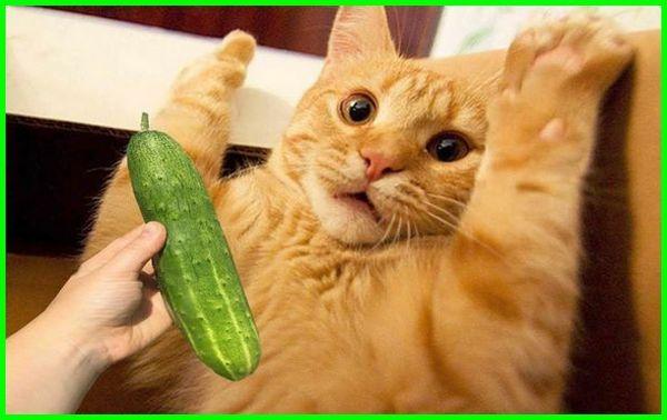apakah kucing takut timun, apakah kucing takut dengan timun, apakah kucing takut sama timun, benarkah kucing takut timun, benarkah kucing takut dengan timun, benarkah kucing takut sama timun, kenapa kucing takut timun, kenapa kucing takut sama timun, kenapa kucing takut dengan timun, mengapa kucing takut timun, mengapa kucing takut dengan timun, mengapa kucing takut sama timun