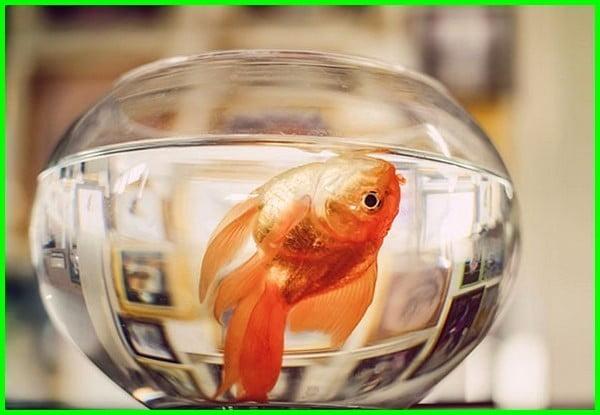Kenapa Ikan Koki Sering Mati Ternyata Ini Penyebabnya Daftarhewan Com