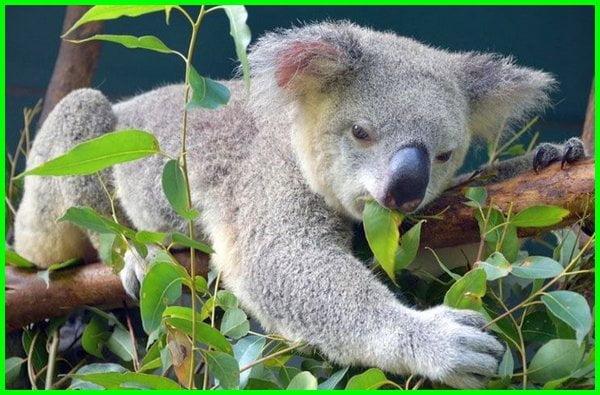 makanan koala selain daun ekaliptus, makanan koala selain eucalyptus, makanan koala adalah, koala makan apa, makanan koala pohon khas australia, pohon makanan koala di australia, pohon australia koala makanan bagi marsupialia, daun makanan koala tts, makanan favorit koala, makanan khas koala, makanan kegemaran koala