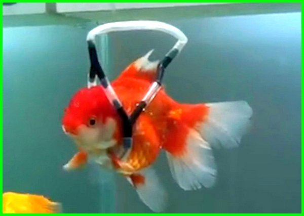 cara menyembuhkan ikan koki yang berenang terbalik, cara mengatasi ikan koki yang berenang terbalik, mengobati ikan koki berenang terbalik, cara mengatasi ikan mas koki berenang terbalik, kenapa ikan mas koki berenang terbalik, mengapa ikan mas koki berenang terbalik, obat ikan koki berenang terbalik, obat ikan mas koki berenang terbalik, pengobatan ikan koki berenang terbalik, ikan mas koki yang selalu berenang terbalik, ikan mas koki sakit terbalik