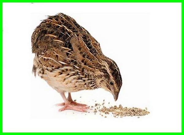 makanan burung puyuh adalah, makanan burung puyuh liar, makanan burung puyuh batu, makanan burung puyuh hutan, makanan burung puyuh apa, makanan burung puyuh petelur, makanan burung puyuh alami, makanan burung puyuh agar gacor, makanan burung puyuh agar cepat gacor, makanan burung puyuh apa saja, apa makanan anak burung puyuh, apa saja makanan burung puyuh