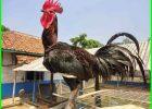 ayam pelung cianjur, ayam pelung jumbo, ayam pelung garut, ayam pelung juara, ayam pelung super, ayam pelung asli, ayam pelung asli cianjur, ayam pelung adalah, ayam pelung asli jumbo, ayam pelung berasal dari mana