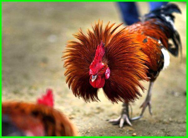 cara fisik ayam bangkok pukul mati, cara supaya ayam bangkok rajin mukul, cara membuat ayam bangkok rajin mukul, cara merawat ayam bangkok siap adu, cara membuat ayam bangkok pukul keras