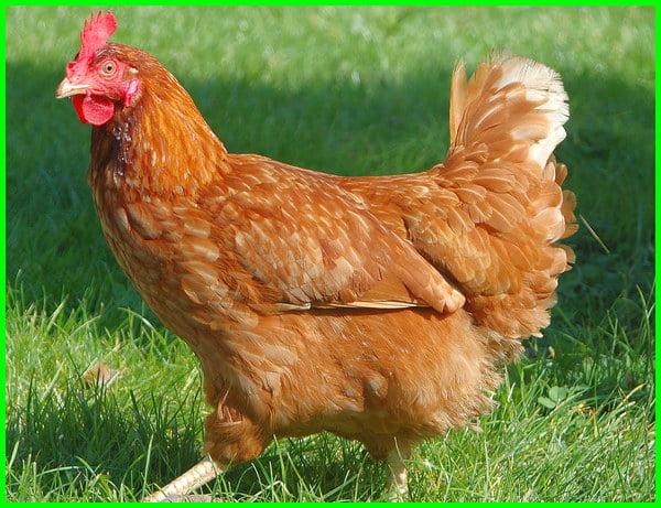 ayam petelur betina, ayam petelur berapa kali sehari, ayam petelur charoen pokphand, ayam petelur disebut juga, jenis ayam petelur unggul, jenis ayam petelur unggulan, jenis ayam petelur paling unggul