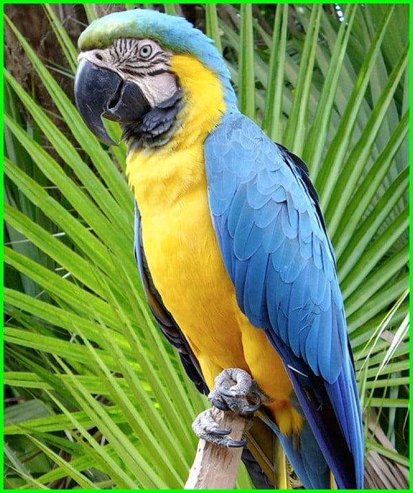 jenis burung macaw dan harganya, jenis burung macaw dan harga, jenis burung macaw yang murah, jenis burung macaw beserta gambar, jenis burung macaw termahal, apa saja jenis burung macaw, macam macam burung macaw, jenis jenis burung macaw, jenis2 burung macaw