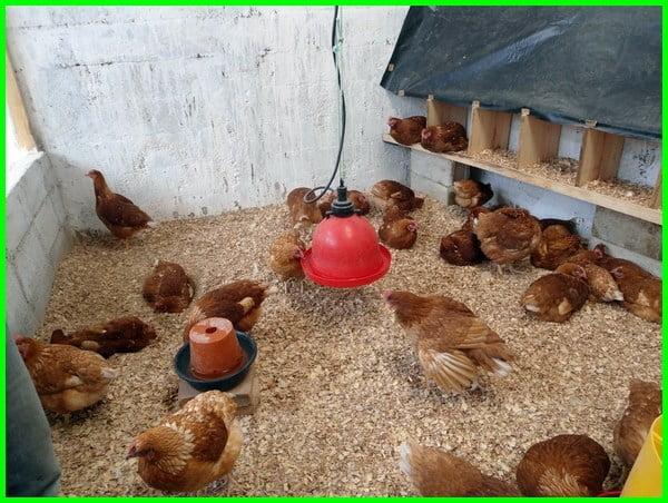 kandang sederhana ayam petelur, kandang ayam bertelur sederhana, kandang ayam petelur sederhana dari bambu, foto kandang ayam petelur sederhana, gambar kandang ayam petelur sederhana, kandang ayam petelur close house sederhana, harga kandang ayam petelur sederhana, kandang ayam petelur sederhana