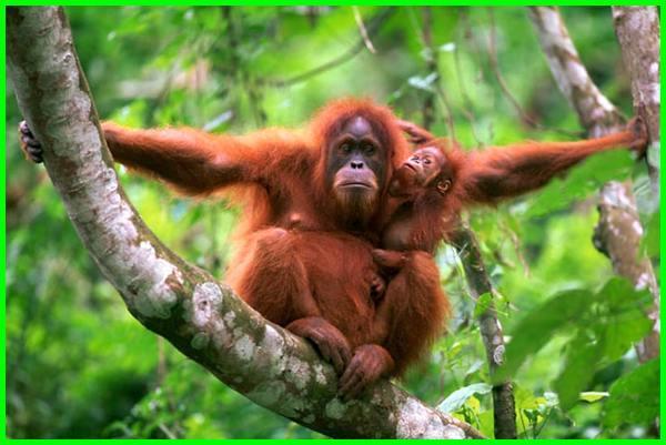 daftar hewan terancam punah di indonesia, hewan yg terancam punah di indonesia, hewan endemik indonesia yang terancam punah, gambar hewan terancam punah di indonesia, gambar hewan yang terancam punah di indonesia, 10 hewan terancam punah di indonesia, 10 hewan yang terancam punah di indonesia, daftar hewan terancam punah, daftar hewan yang terancam punah di indonesia, 5 hewan hampir punah di indonesia
