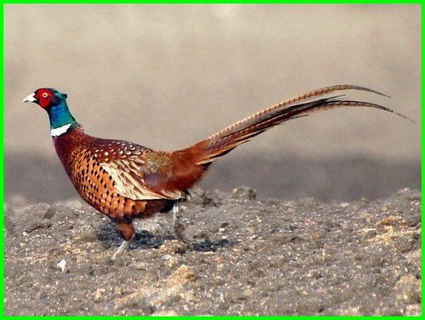ayam pheasant ringneck, ayam ringneck pheasant hijau, ayam ringneck pheasant merah, ayam ringneck pheasant, harga ayam ringneck pheasant, ayam hias ringneck pheasant, harga ayam ringneck pheasant merah