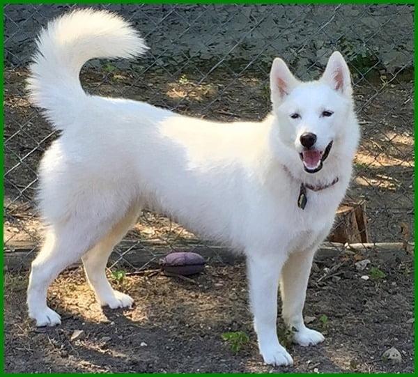 siberian husky warna putih, anakan siberian husky putih, anjing siberian husky warna putih, gambar siberian husky