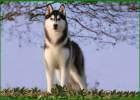 cara merawat anjing siberian husky, cara melatih anjing siberian husky, cara perawatan anjing siberian husky, cara mengurus anjing siberian husky, cara untuk merawat anjing siberian husky, fakta tentang anjing siberian husky