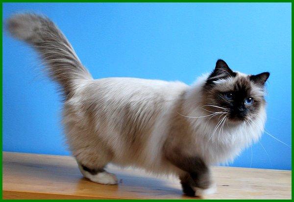apa saja jenis kucing, apa saja jenis jenis kucing, jenis jenis kucing cantik, berapa jenis kucing, berbagai jenis kucing, berapa jenis kucing di dunia, nama jenis kucing, nama jenis kucing di indonesia, nama jenis jenis kucing, nama-nama jenis kucing, nama nama jenis kucing, jenis kucing peliharaan yang pintar, jenis kucing peliharaan besar, jenis kucing yg pintar