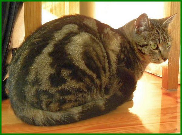 Jenis Kucing Kampung Campuran Yang Tangguh Dan Menawan Daftarhewan Com