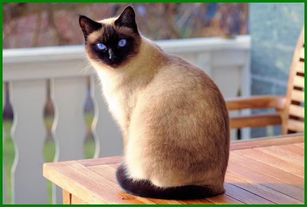 jenis kucing paling cantik, jenis kucing yang cantik, jenis kucing terindah, jenis kucing bagus, jenis kucing unik, jenis kucing terimut, jenis jenis kucing yang cantik, jenis jenis kucing imut, jenis kucing paling populer