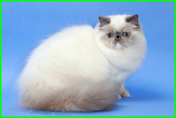jenis kucing flat face, kucing flat nose, kucing flat, jenis kucing flat, jenis kucing flat nose, cara penjagaan kucing flat face, kucing flat face untuk dijual murah, flatnose kucing
