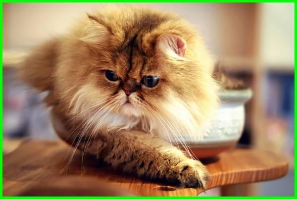 kucing persia flat nose, kucing persia flat nose long hair, jenis kucing flat nose, gambar kucing flat nose, anak kucing persia flat nose, flatnose kucing, harga kucing exotic flat nose, gambar kucing persia flat nose, kucing flatnose adalah, kucing flatnose murah kucing flatnose medium