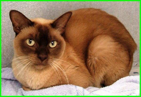 kucing semi flat face, jenis kucing flat face, kucing flat face untuk dijual, cara penjagaan kucing flat face, kucing flat nose, jenis kucing flat nose, kucing flat, flatnose kucing, kucing parsi flat face, jenis kucing flat