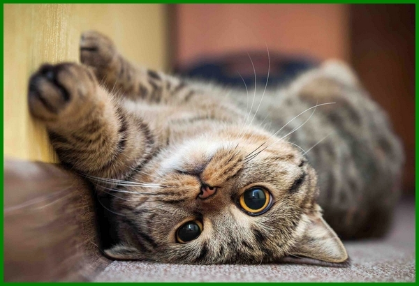 Beberapa Nama Kucing Jantan Ala Korea Daftarhewan Com