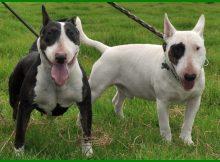 rekomendasi anjing penjaga, rekomendasi anjing peliharaan untuk pemula, anjing yang kuat, anjing yang tangguh, anjing yang gagah