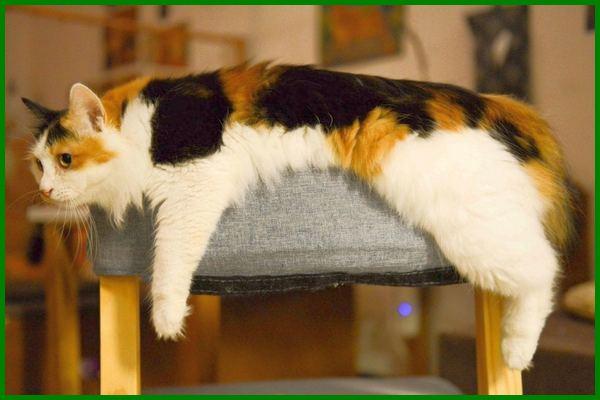 Jenis Kucing Calico Si Belang Tiga Berpenampilan Menarik Daftarhewan Com