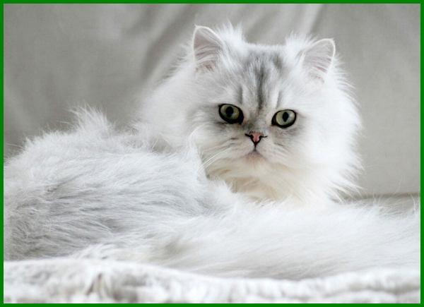 jenis kucing persia asli, mengenal jenis kucing persia, jenis jenis kucing persia dan gambarnya, jenis jenis kucing persia beserta gambar, jenis jenis kucing persia dan ciri cirinya, jenis kucing persia lengkap, macam macam jenis kucing persia