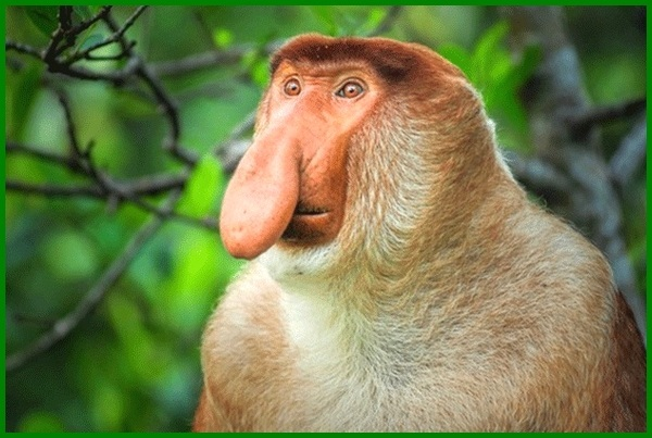 hewan yg terancam punah di kalimantan, hewan kalimantan yang terancam punah, hewan kalimantan yg terancam punah, hewan yang langka di kalimantan, hewan di kalimantan timur, hewan di kalimantan yang terancam punah, hewan di hutan kalimantan