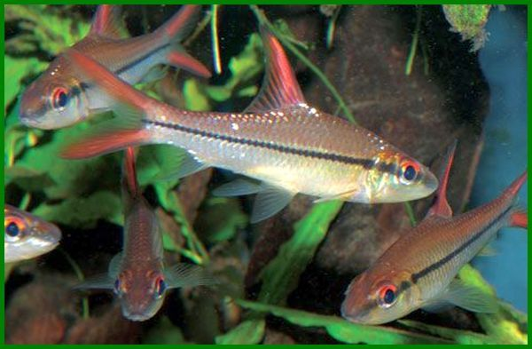 contoh ikan hias indonesia, ikan hias dari indonesia, jenis ikan hias di indonesia, ikan hias ekspor indonesia, jenis ikan hias ekspor indonesia, jenis ikan hias endemik indonesia, ikan hias air tawar import, 10 jenis ikan hias indonesia, jumlah ikan hias di indonesia