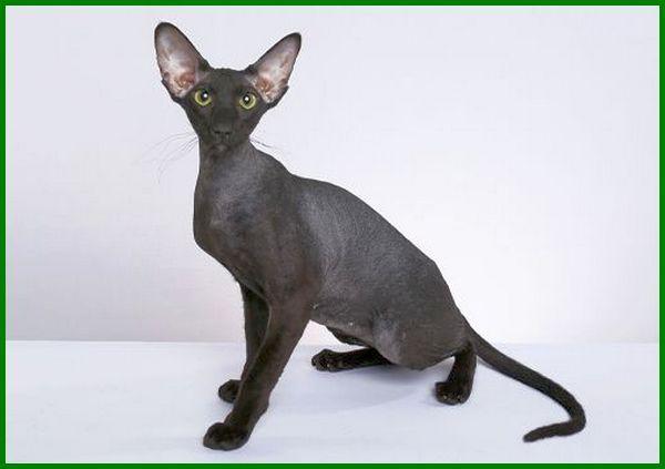 kucing paling mahal sedunia, kucing paling mahal di indonesia, kucing paling mahal dunia, kucing paling mahal dan cantik, jenis kucing paling mahal, kucing yang paling mahal, kucing paling mahal di dunia, kucing apa yg paling mahal, kucing paling termahal di dunia