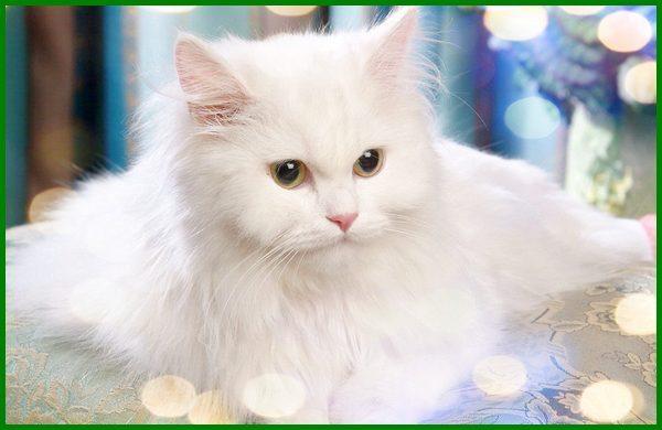 jenis kucing persia berdasarkan warna, jenis kucing persia beserta gambarnya, berbagai jenis kucing persia, jenis kucing persia dan gambarnya, semua jenis kucing persia, jenis kucing persia dan ciri cirinya