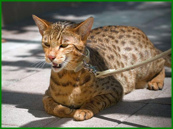kucing ashera wikipedia, jenis kucing ashera, kucing the ashera, beli kucing ashera, foto kucing ashera, fakta kucing ashera, gambar kucing ashera, kucing jenis ashera, ashera kucing, kucing ras ashera, kucing ashera harga