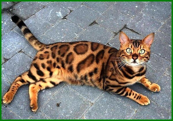 kucing termahal dunia, kucing bengal termahal, harga kucing bengal termahal, contoh kucing termahal, kucing kucing termahal di dunia, foto kucing termahal di dunia, kucing termahal di dunia gambar, gambar kucing termahal, kucing hias termahal, jenis kucing termahal di indonesia, kucing jenis termahal, jenis kucing termahal dunia, jenis2 kucing termahal, kucing termahal 2020-2021-2022-2023-2024-2025