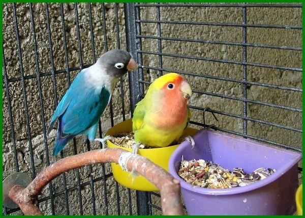 apa itu makanan lovebird, apa saja makanan burung lovebird, apa nama makanan burung lovebird, apa saja pakan burung lovebird, apa saja makanan buat burung lovebird, apa makanan lovebird biar gacor, jenis makanan lovebird biar ngekek panjang, jenis makanan lovebird dan manfaatnya, jenis makanan lovebird dan fungsinya, apa makanan burung lovebird, jenis makanan lovebird, macam makanan lovebird, macam macam makanan lovebird, makananan burung lovebird