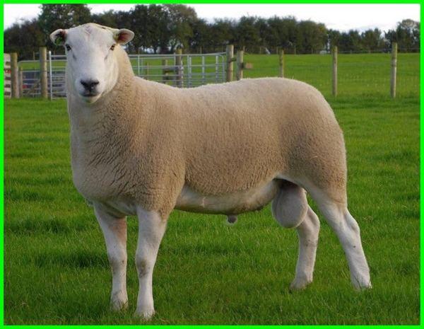 domba texel super, perbedaan domba texel dan merino, asal domba texel, ciri ciri domba texel, gambar domba texel, foto domba texel, harga domba texel 2020-2021-2022-2023, jenis domba texel, ternak domba texel, tentang domba texel, ciri ciri domba texel yang bagus, domba texel jantan