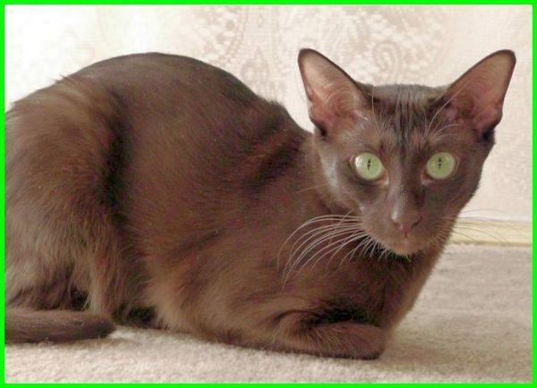 kucing berwarna coklat, gambar kucing coklat, wallpaper kucing coklat hd, kucing lucu coklat, nama kucing coklat, kucing warna coklat