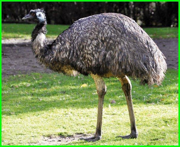 burung terbesar di australia tts, gambar burung terbesar, nama burung terbesar di dunia, burung burung terbesar di dunia, burung asli australia terbesar serta tak dapat terbang tts, burung asli australia terbesar tts, burung terbesar yg masih hidup