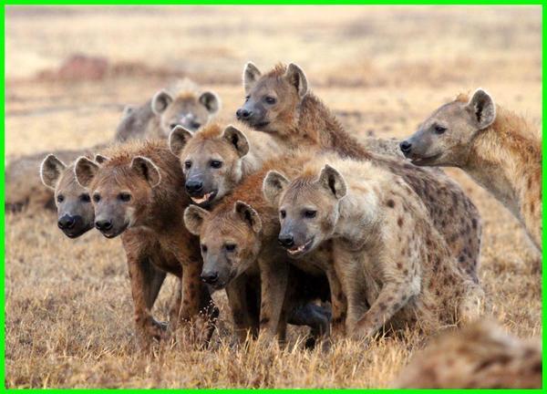 cara hewan menyesuaikan diri terhadap lingkungannya, cara hewan menyesuaikan diri dengan lingkungan, cara hewan menyesuaikan diri dengan lingkungannya brainly, cara hewan menyesuaikan diri terhadap lingkungan, cara hewan menyesuaikan diri dengan lingkungan tempat tinggalnya, cara hewan menyesuaikan diri brainly, bagaimana cara hewan menyesuaikan diri, hewan dan cara menyesuaikan diri, hewan dan cara penyesuaian dirinya, contoh cara hewan menyesuaikan diri, cara menyesuaikan diri hewan hyena, 10 cara hewan menyesuaikan diri dengan lingkungannya, cara penyesuaian diri pada hewan, bagaimana hewan menyesuaikan diri