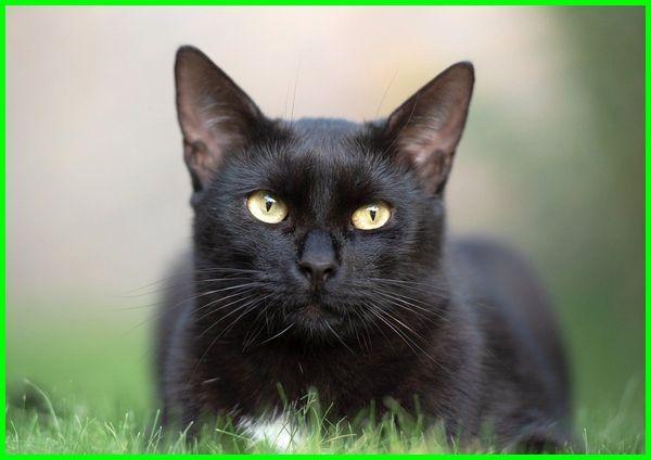 kucing bombay harga, jual kucing bombay, jenis kucing bombay, beli kucing bombay, asal kucing bombay, perawatan kucing bombay, umur kucing bombay, ciri kucing bombay, ciri ciri kucing bombay, kucing jenis bombay, makanan kucing bombay, kucing ras bombay, asal kucing bombay, ciri kucing bombay