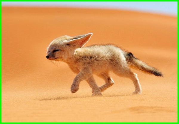 hewan gurun afrika, hewan gurun tts, hewan yang hidup di gurun pasir, hewan yang hidup di gurun afrika, hewan yang hidup di gurun adalah, hewan yang beradaptasi di gurun adalah, hewan ekosistem gurun adalah