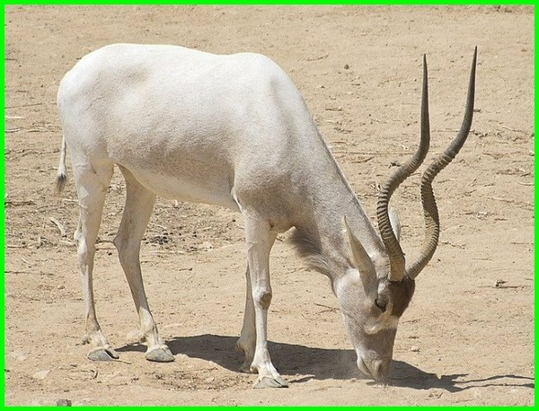 hewan padang pasir tts, hewan padang pasir selain unta, hewan yang hidup di padang pasir tts, hewan yang hidup di padang pasir adalah, hewan yang ada di padang pasir, sebutkan hewan yang ada di padang pasir, 2 hewan yang ada di padang pasir, adaptasi hewan hewan yang hidup di padang pasir agar dapat bertahan hidup, hewan yang bisa hidup di padang pasir