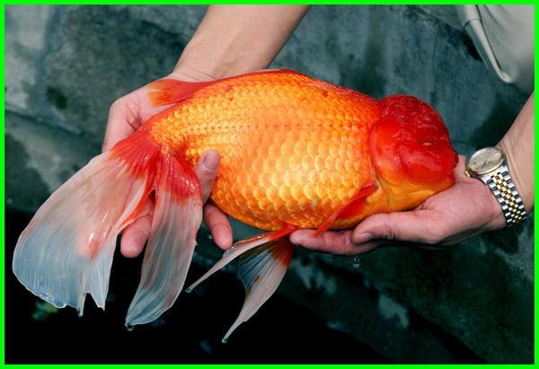 ukuran ikan koki terbesar, jenis ikan koki terbesar, sentra ikan koki terbesar di indonesia adalah, foto ikan koki terbesar, ternak ikan koki terbesar, toko ikan koki terbesar, ikan mas koki terbesar yang pernah ada, ikan mas koki terbesar di dunia, ikan hias mas koki terbesar, jenis ikan mas koki terbesar, ikan mas koki terbesar, umur ikan mas koki terbesar, ikan koki termahal terbesar