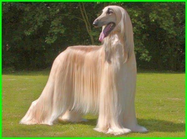 jenis jenis anjing peliharaan, jenis jenis anjing dan karakternya, jenis jenis anjing beserta fotonya, jenis jenis gambar anjing, jenis jenis anjing dan gambar, jenis jenis hewan anjing, jenis jenis anjing lengkap, jenis jenis anjing luar negeri, jenis jenis anjing dan namanya, jeni jenis anjing