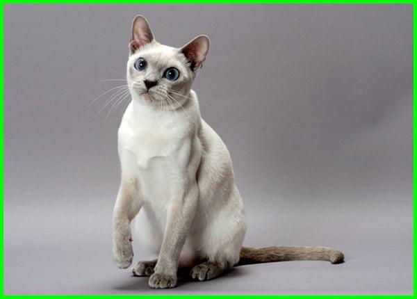 jenis dan bentuk kucing, nama dan jenis jenis kucing, jenis jenis kucing dan fotonya, jenis jenis kucing beserta fotonya, foto jenis jenis kucing peliharaan, jenis jenis kucing beserta gambar