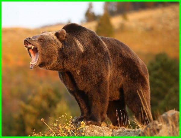 beruang bahasa inggrisnya, beruang bahasa inggrisnya apa, beruang bahasa inggrisnya adalah, beruang bahasa inggris tts, beruang dalam bahasa inggris, beruang bahasa inggris nya apa, bahasa inggris dari beruang