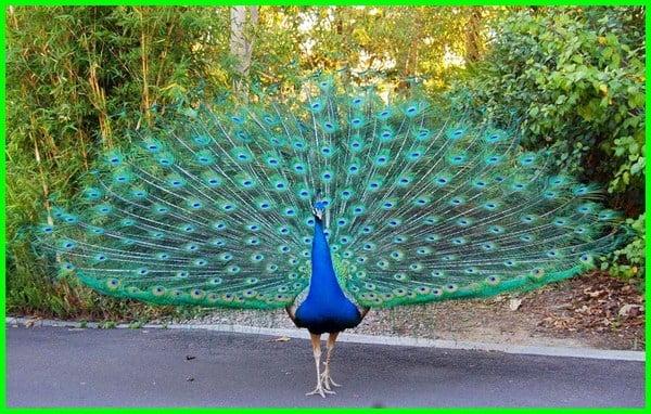 merak biru berasal dari, merak biru wikipedia, merak biru langka, merak biru india, merak biru apakah dilindungi, asal merak biru, perbedaan merak biru dan hijau, deskripsi merak biru, habitat merak biru, klasifikasi merak biru, makanan merak biru