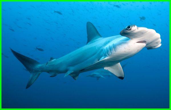 hiu dalam bahasa inggris adalah, hiu dalam bahasa inggrisnya adalah, hiu indonesia dalam bahasa inggris, apa ikan hiu dalam bahasa inggris, ikan hiu dalam bahasa inggris