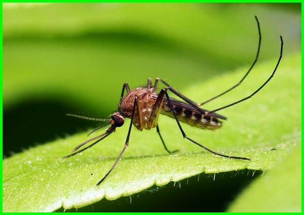 apa manfaat nyamuk bagi manusia, apa manfaat nyamuk bagi kehidupan manusia, apa manfaat nyamuk diciptakan, apa manfaat nyamuk dalam kehidupan sehari-hari, apa manfaat nyamuk dalam kehidupan kita sehari-hari, apa manfaat nyamuk bagi lingkungan rumah, apa manfaatnya nyamuk, apa manfaat dari nyamuk, apa saja kegunaan nyamuk