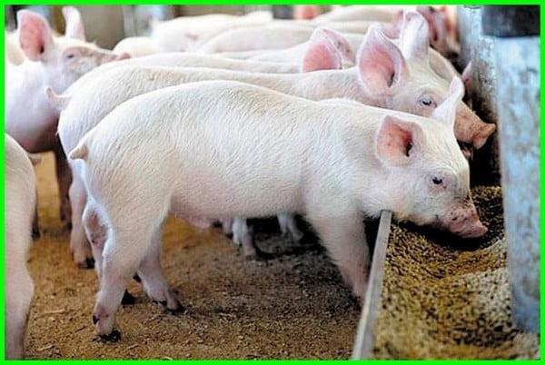 babi makan apa saja, babi makanannya apa, babi makan kotoran, babi makan rumput, babi makan babi, babi makan anaknya, makanan babi agar cepat besar, makanan babi apa saja, babi makan apa